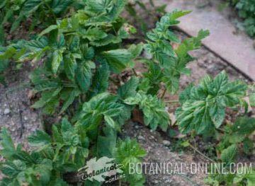 chirivia planta