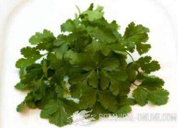 cilantro hoja coriandro