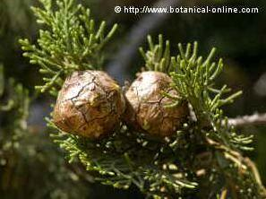 Photo of cypress fruits