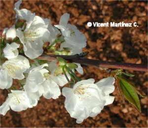 Prunus avium, flors