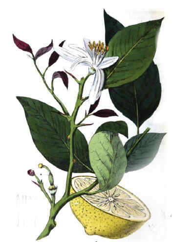 Dibujo de limon