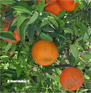 Citrus aurantium frutos