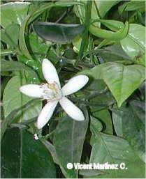 Citrus aurantium -flor