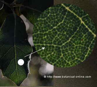 Hoja con cloroplastos