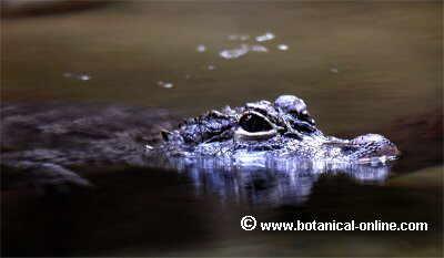 cocodrilo asomando en el agua