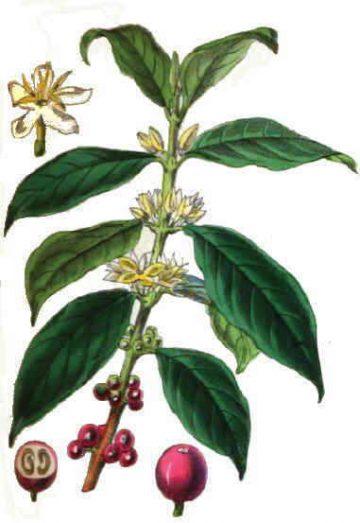Planta del café