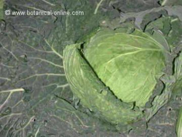 hojas se col para la ciática