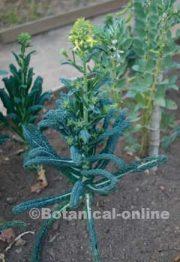 brassica oleracea licitana col toscana