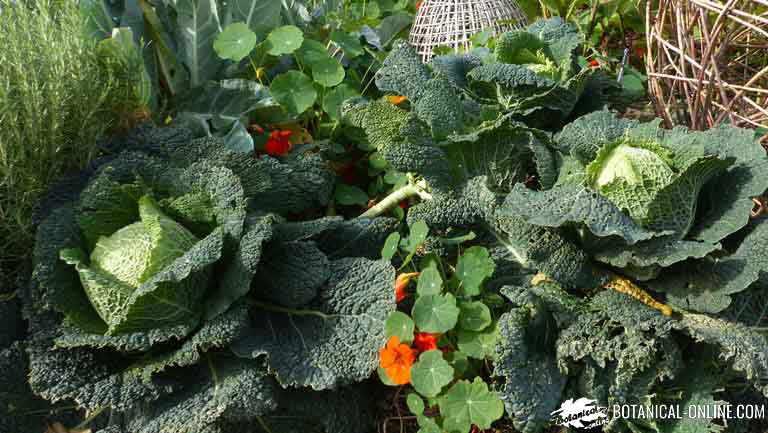 asociacion de cultivos, verdura de raiz y de hoja