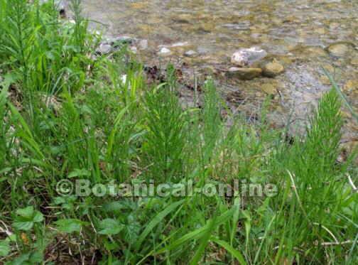 Equisetum arvense cola de caballo silvestre, en su hábitat