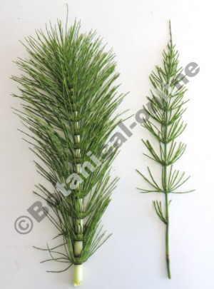 tipos de equisetum telmateia arvense
