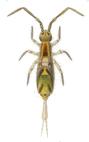 colembolo-o-chilensis