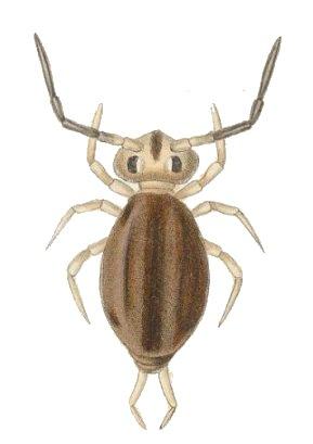 colembolo-s-liliputanus