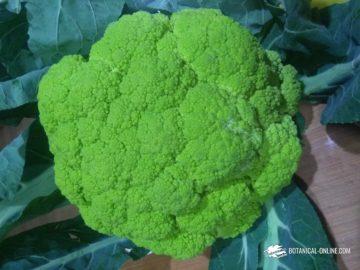 coliflor verde