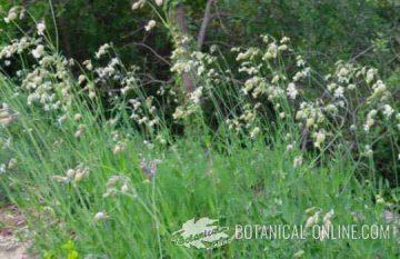 Silene vulgaris plantas en floracion, flor