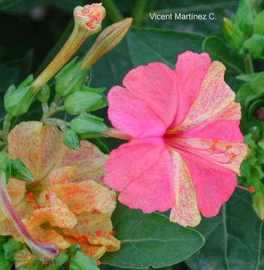 Flor Flor de nit, Mirabilis Jalapa