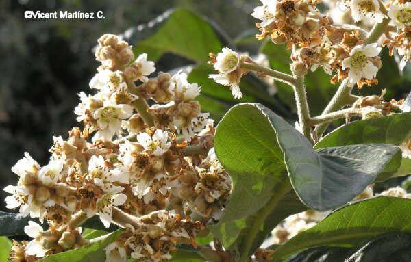 Flor Nesprer, Eryobotria japonica