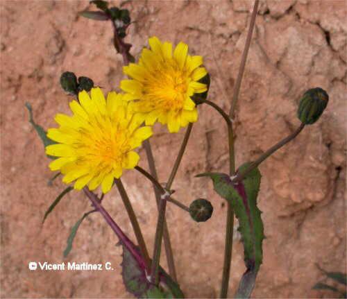 Flor Lletsó, Sonchus ssp.