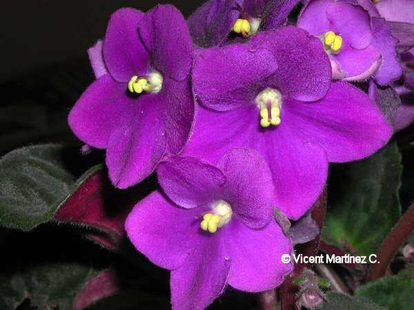 Flor Viola africana, Saintpaulia ionantha