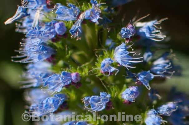 Flor Orgull de Madeira, Echium candicans / Echium fastuosum / Echium cynoglossoides Desf