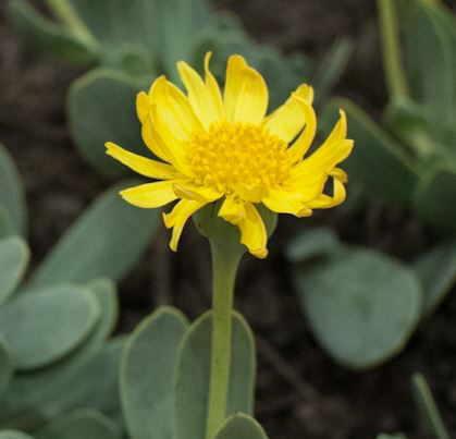 Flor ---, Othonna cheirifolia