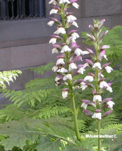 Flor Acant, Acanthus mollis