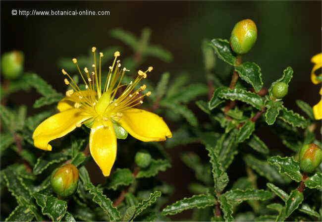 Flor Estepa joana, Hypericum balearicum