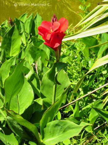 Flor Canya d'Índia, Canna indica / Canna edulis