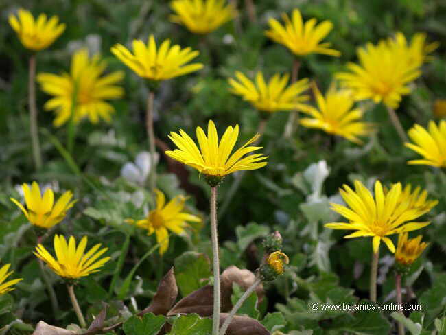 Flor ---, Arctotheca calendula