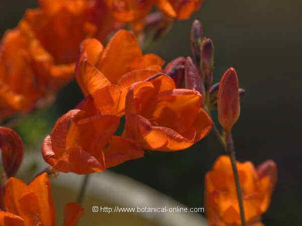 Flor Frèsia, Tritonia crocata