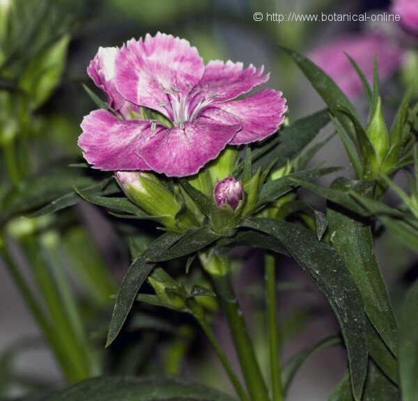 Flor Clavell xinès, Dianthus chinensis
