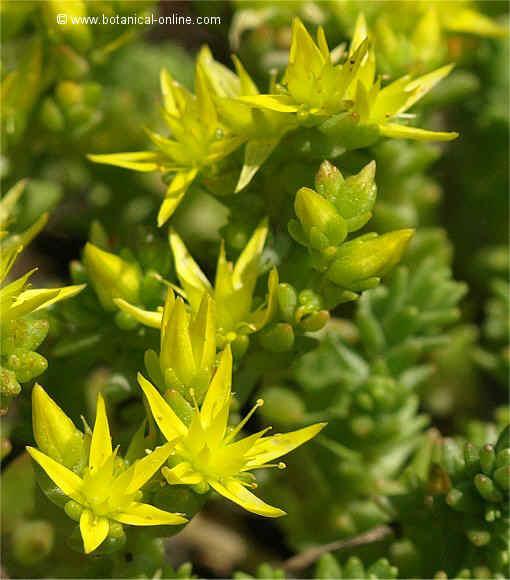 Flor Crespinell groc, Sedum acre