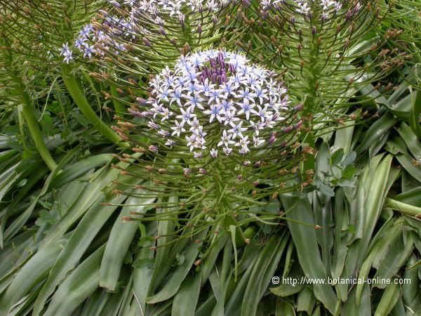 Flor Lliri del perú, Scilla peruviana