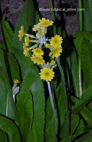 Flor ---, Primula lutea