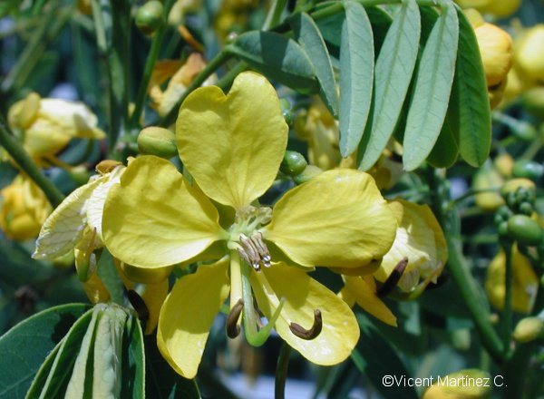 Flor Càssia, Cassia corymbosa