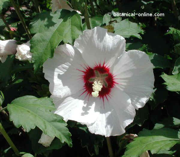 Flor Hibisc de Síria, hibiscus de Síria, malva reial, Hibiscus syriacus