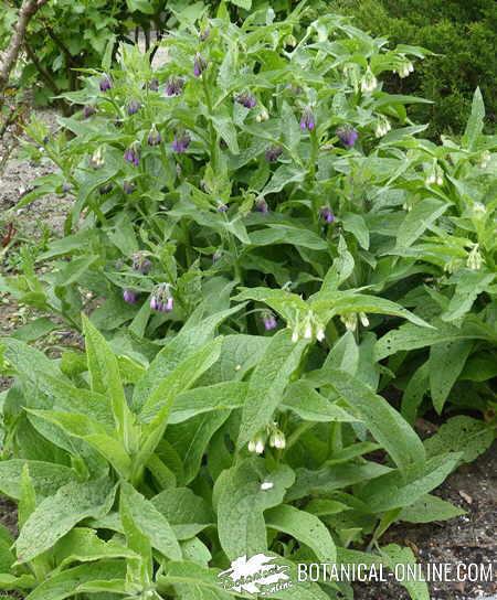 consuelda cultivo flores blancas y lilas