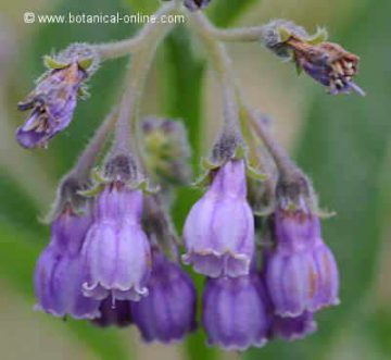 flores de consuelda