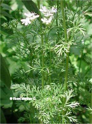 Coriander sativum