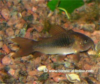 Alimentaci n de peces de acuario for Alimento para peces acuario