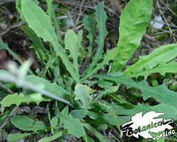 Cosconilla (Reichardia picroides)