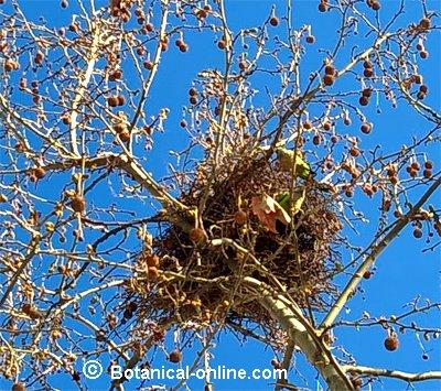 cotorra nido