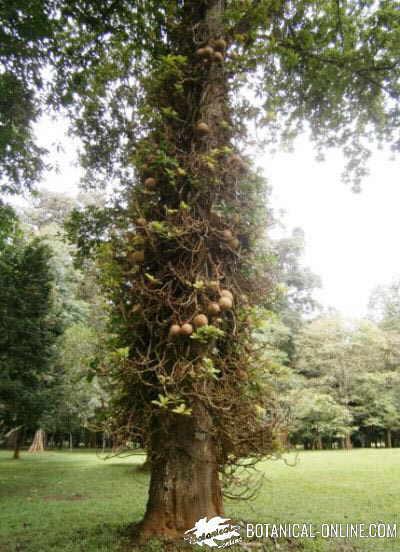 arbol Ayahuma couroupita