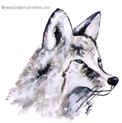 Dibujo de coyote
