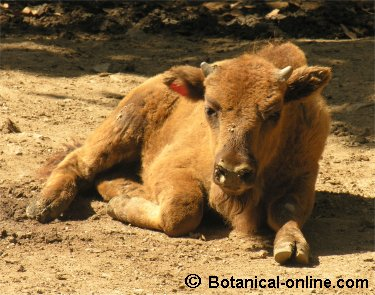 cria bisonte