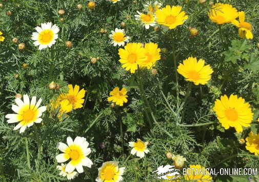 crisantemo margarita