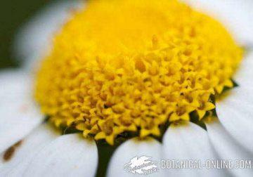 macrofotografia crisantemo flores