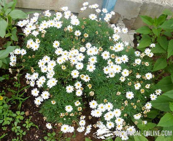 crisantemos en el jardin