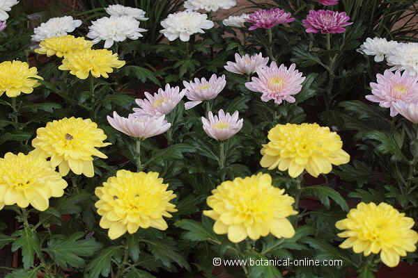 Cultivo de crisantemos en interior y exterior - Como cultivar crisantemos ...