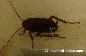 Cucaracha ninfa